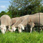 Weidezaun Info - Schafe hinter Weidenetz