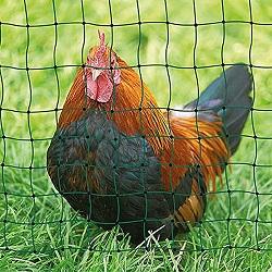 Huhn hinter Geflügelzaun / Weidezaun für Hühner