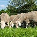 Schafe hinter Weidenetz